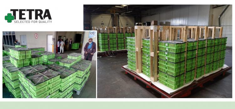 A finales de junio, volvemos a transportar lotes reproductores de aves de corral de doble propósito TETRA-H y ponedoras  TETRA-SL LL – a Etiopía para renovar los lotes reproductores anteriores y garantizar la producción diaria local de polluelos comerciales.