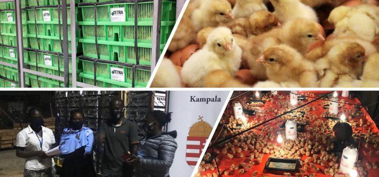 Transporte de pollos de un día a Uganda